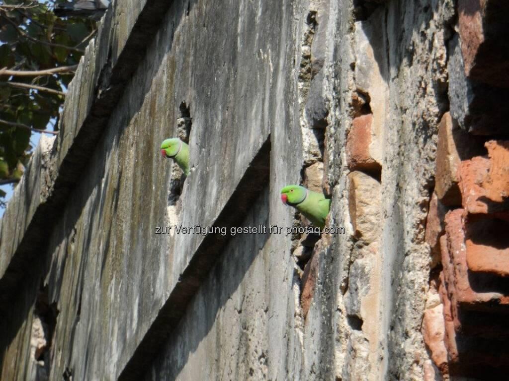 New Delhi, Papageien: Da hab ich sie endlich mal vor die Kamera bekommen - die fliegen dort durch die Gegend wie bei uns die Tauben, © Andreas Wölfl (15.12.2012)
