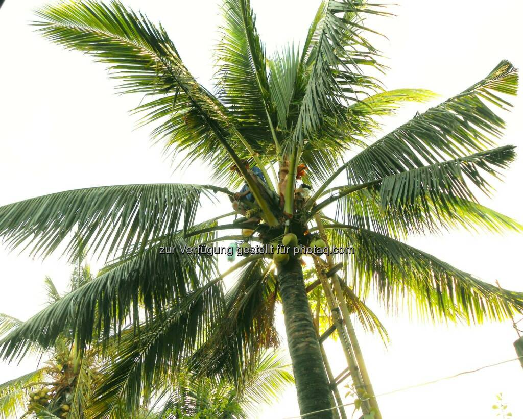 Coconut Tree (2014), © Dietmar Scherf (17.02.2014)