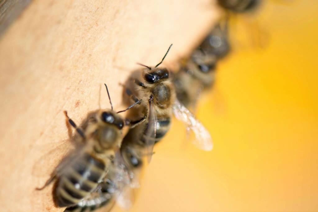 Bienen in Mauer bei Wien, © Eizinger (16.04.2014)