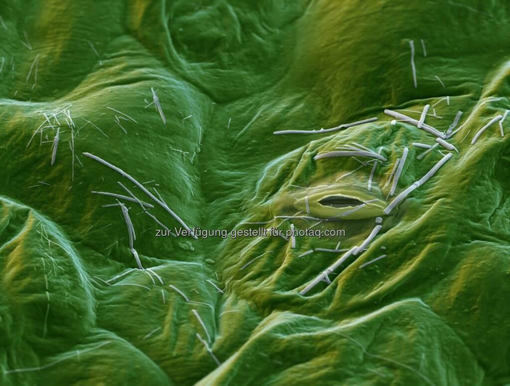 BASF: Xemium®, der neue fungizide Wirkstoff von BASF, ist ein wahres Multitalent: Mit seiner hohen intrinsischen Aktivität und seiner einzigartigen Mobilität in der Pflanze schützt er zuverlässig vor einer Vielzahl an Pilzerkrankungen – und das mit Langzeitwirkung. Vergrößerung 2500:1 (bei 15cm Bildbreite). Mehr faszinierende Bilder aus der Welt der Forschung gibt es unter http://on.basf.com/1tKcWI9 [LR]  Source: http://facebook.com/BASF.Deutschland (17.06.2014)