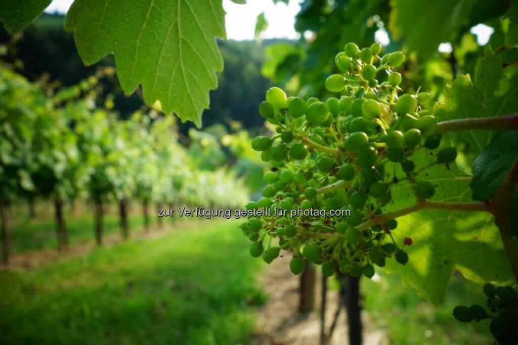 Wein, Weintrauben, Steiermark, © Dirk Herrmann (29.06.2014)