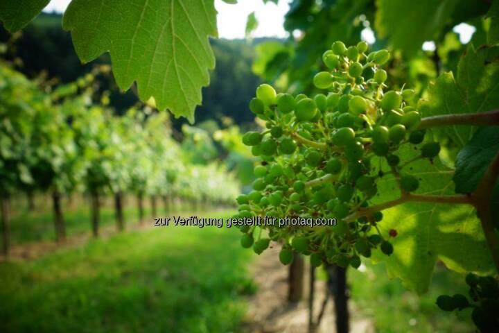 Wein, Weintrauben, Steiermark