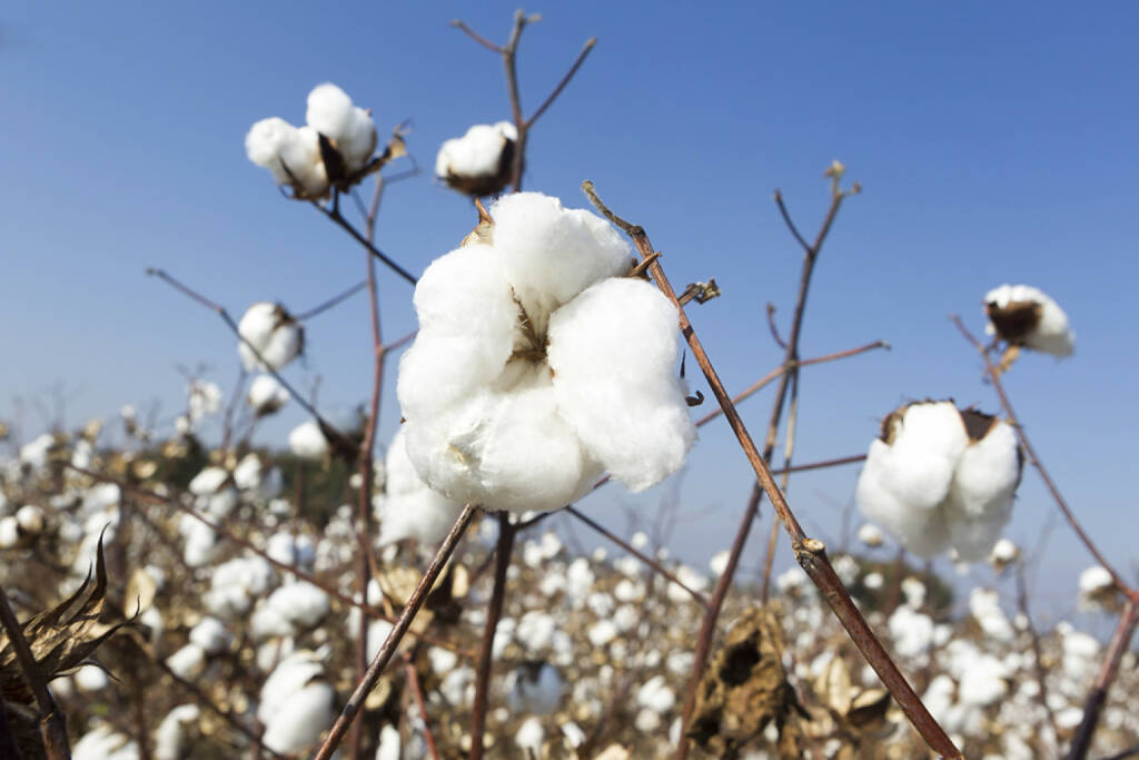 Baumwolle, http://www.shutterstock.com/de/pic-160930505/stock-photo-cotton-fields-white-with-ripe-cotton-ready-for-harvesting.html , © (www.shutterstock.com) (01.07.2014)