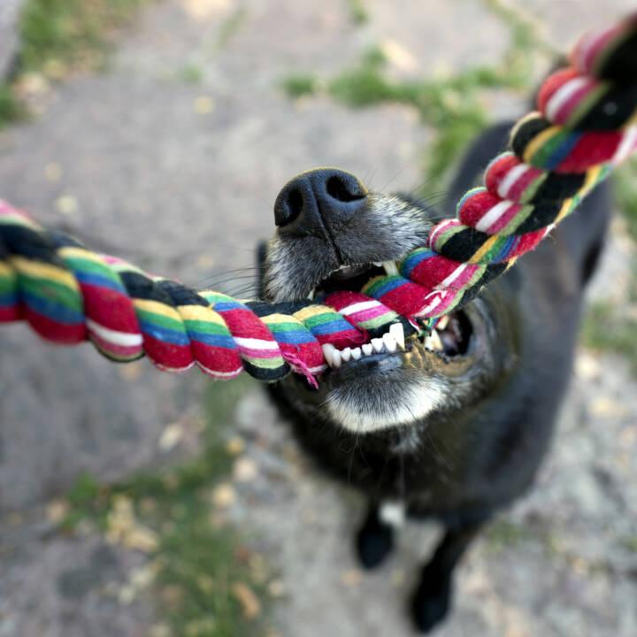 verbeissen, beissen, Biss, verbissen, zubeissen, Hund, festhalten, http://www.shutterstock.com/de/pic-153535241/stock-photo-close-up-of-nose-and-teeth-of-black-dog-biting-a-rope-having-a-tug-of-war-with-his-master.html
