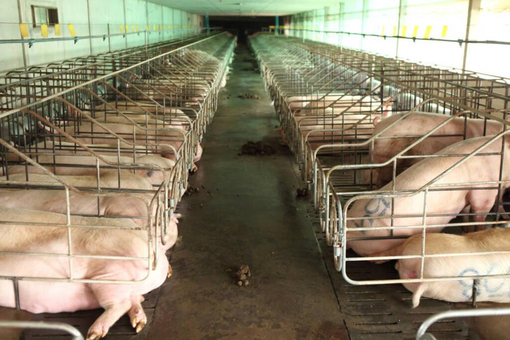 Schwein, Sau, arme Sau, Masse, Massentierhaltung, Tiere, Tierhaltung, Sauerei, Frechheit, erbärmlich, gefangen, eng, schlecht, http://www.shutterstock.com/de/pic-158629364/stock-photo-vanish-view-of-inside-of-big-breeding-pig-farm.html , © www.shutterstock.com (14.07.2014)