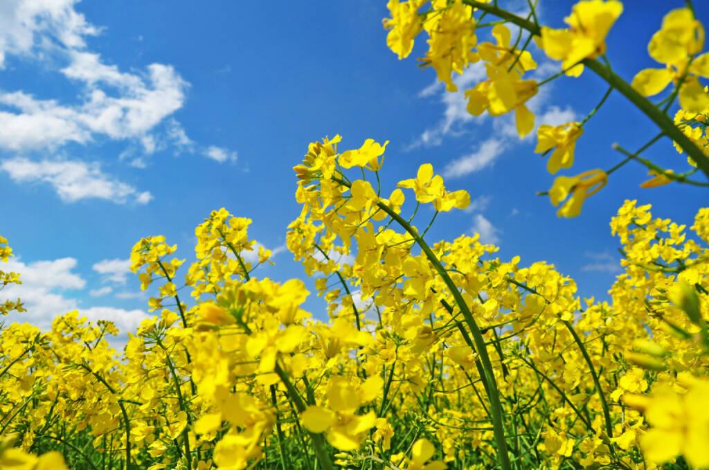 Raps, http://www.shutterstock.com/de/pic-79813090/stock-photo-rape-field-canola-crops-on-blue-sky.html , © (www.shutterstock.com) (25.07.2014)