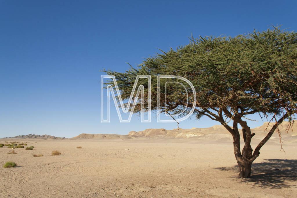 Akazienbaum, Marsa Alam, Ägypten, © Martina Draper (13.01.2013)