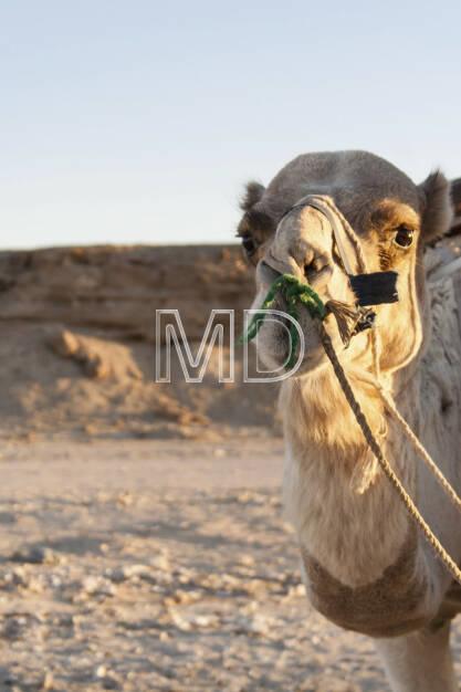 Kamel, Marsa Alam, Ägypten, © Martina Draper (13.01.2013)