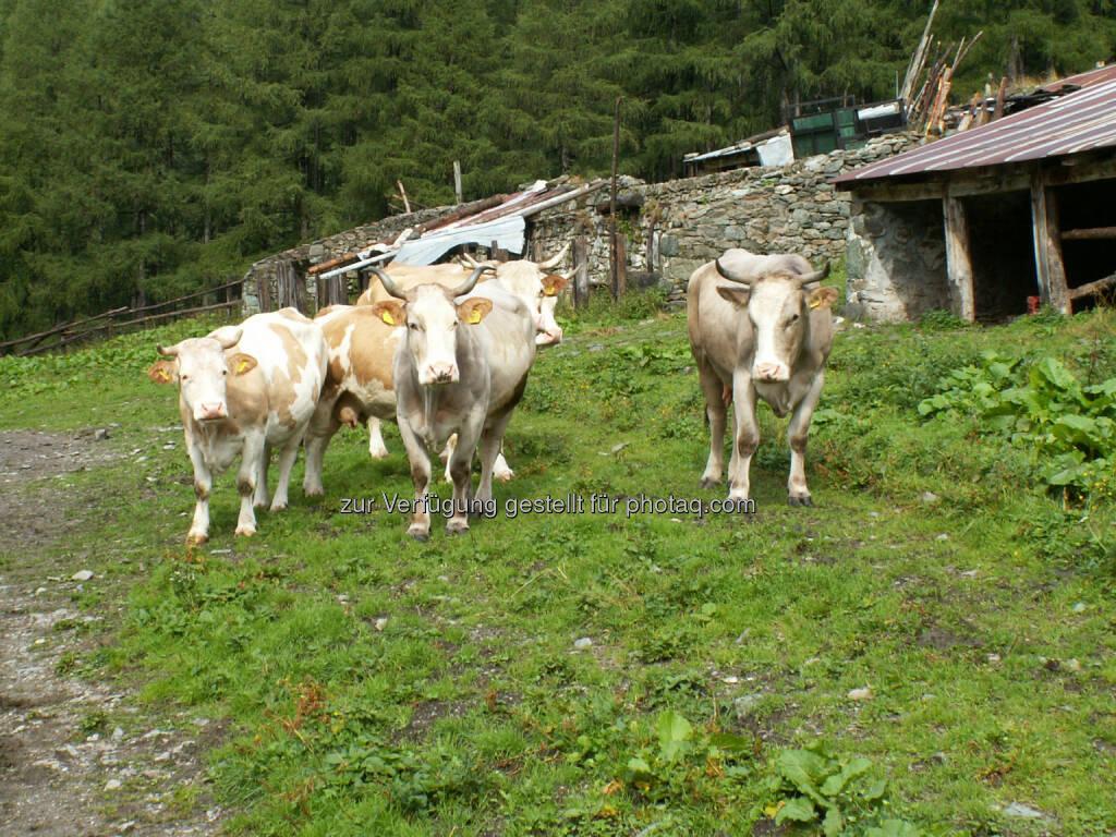 Kuh, Rind - Naturfreunde Österreich: Richtiger Umgang mit Rinderherden beim Wandern!  (c) Doris Winder Fotocredit:Naturfreunde Österreich, © Aussendung checkfelix (31.07.2014)