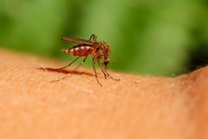 Mücke, Gelse, Blut, Blutsauger, Mosquito, http://www.shutterstock.com/de/pic-34944307/stock-photo-mosquito-drinks-human-blood-on-green-background.html