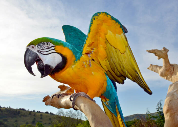 Papagei, http://www.shutterstock.com/de/pic-148435385/stock-photo-beautiful-screaming-macaw.html