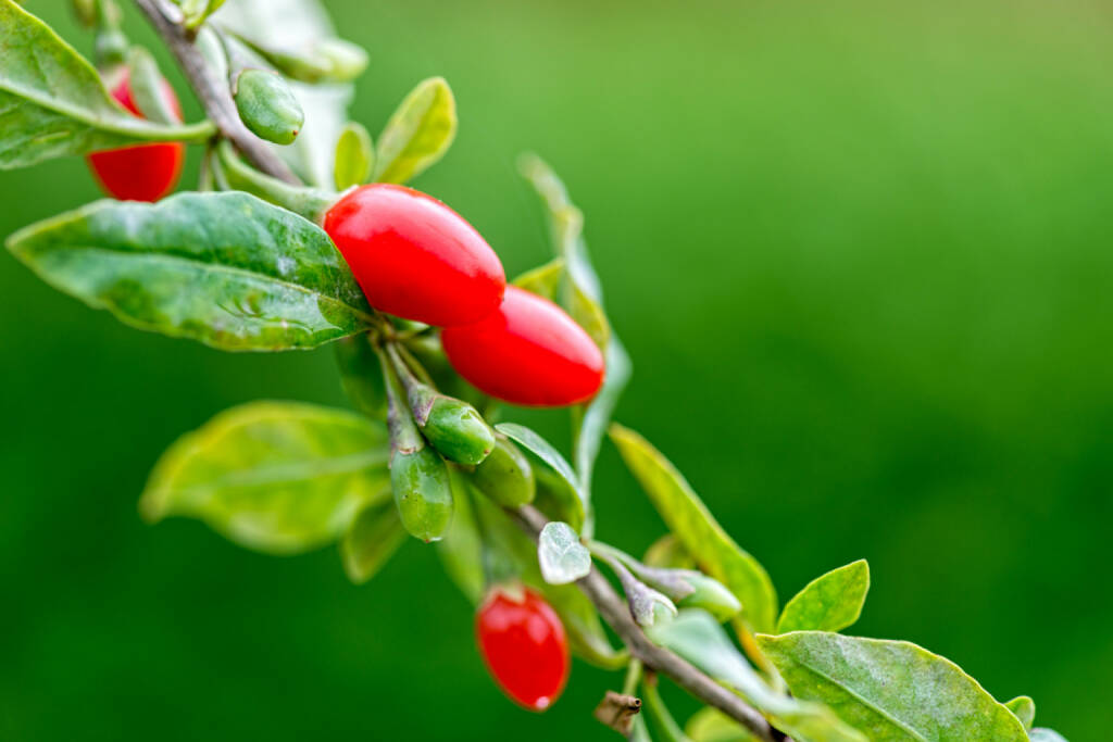 Goji, Superfruit, http://www.shutterstock.com/de/pic-215706292/stock-photo-twig-filled-with-fresh-goji-berries.html, © www.shutterstock.com (24.12.2014)