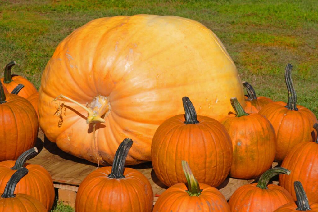 Kürbis, groß, gross, Größe, Grösse, Riesenkürbis, Riese, http://www.shutterstock.com/de/pic-5915356/stock-photo-a-giant-pumpkin-or-squash-surrounded-by-traditional-pumpkins.html?, © www.shutterstock.com (12.01.2015)