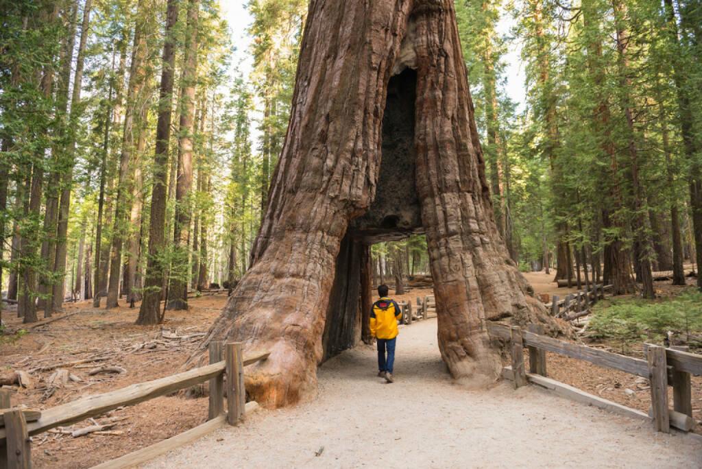 Baum, Baumriese, Riese, groß, gross, Größe, Grösse, http://www.shutterstock.com/de/pic-239236648/stock-photo-giant-sequoia-mariposa-grove-yosemite-national-park-california.html, © www.shutterstock.com (12.01.2015)