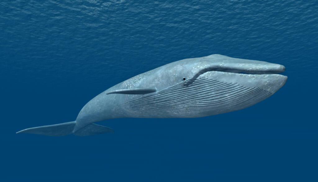 Blauwal, Wal, groß, gross, Größe, Grösse, Meer, http://www.shutterstock.com/de/pic-242249575/stock-photo-blue-whale-computer-generated-d-illustration.html, © www.shutterstock.com (12.01.2015)