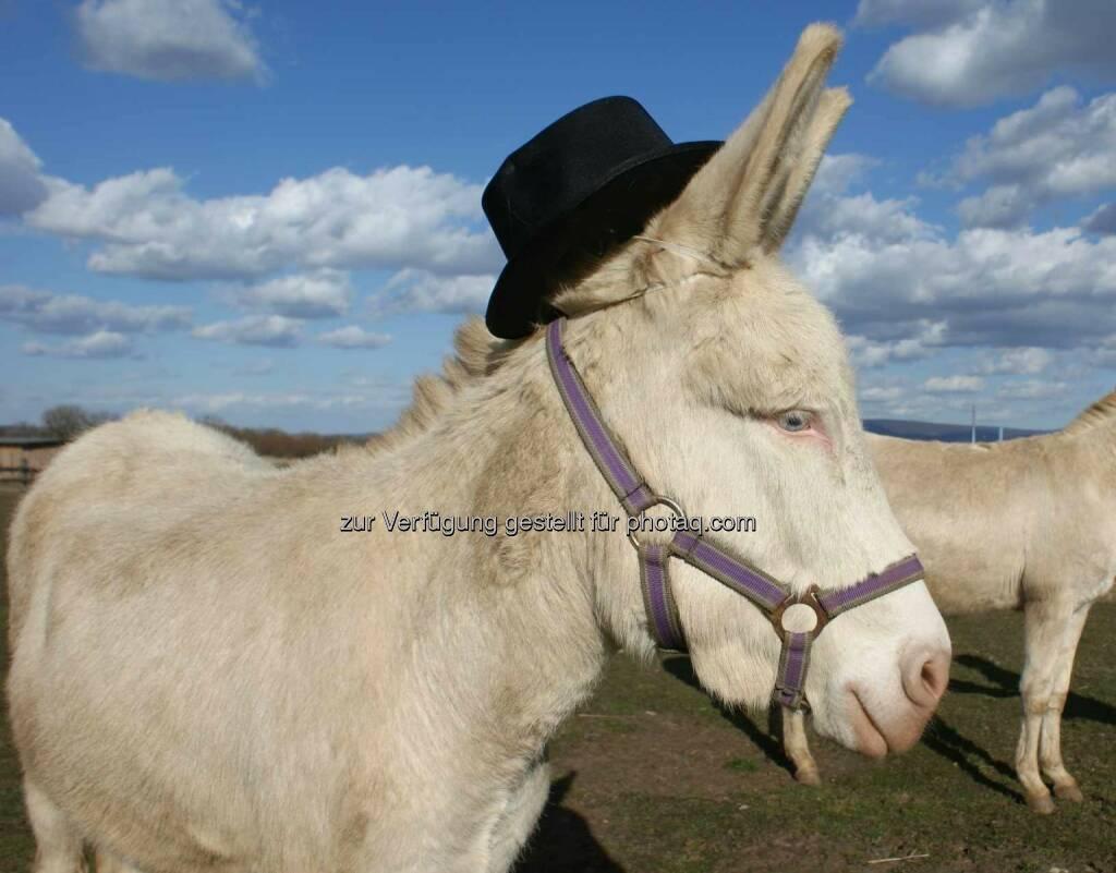 LUMIs magisches Kinderfest - Beim Eselstriegeln, Ponyreiten oder bei den Lamaführungen gehen LUMIs Gäste auf Tuchfüllung mit den vierbeinigen Bewohnern von Schloss Hof. Esel, Hut (Bild: José de Andrade), © Aussender (19.05.2015)