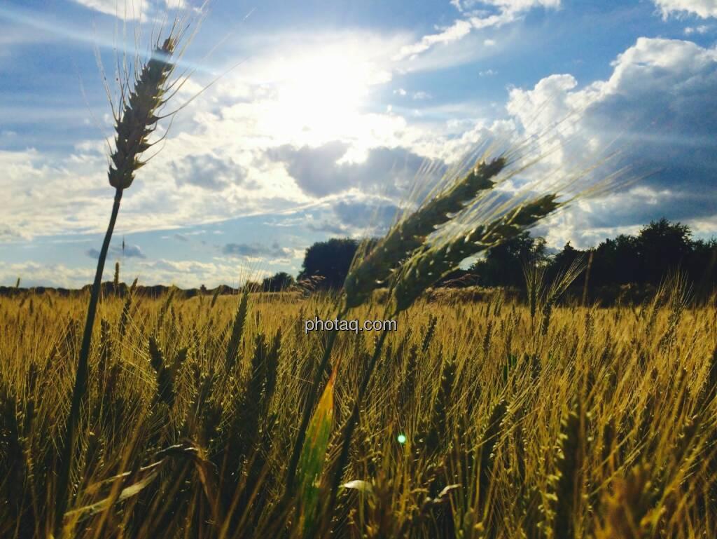 Weizen, Weizenfeld, © Martina Draper (23.06.2015)