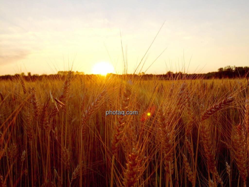 Kornfeld, Feld, Weizenfeld, Sonnenuntergang, © Martina Draper (02.07.2015)