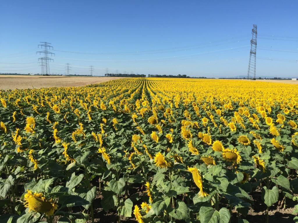 Sonnenblumen (12.07.2015)