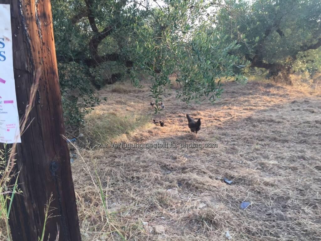 Huhn, Olivenbaum (09.08.2015)