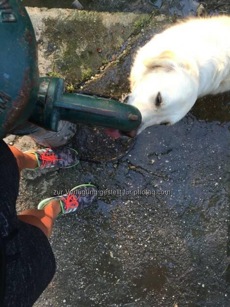 trinken, Hund, Durst, Hitze, Brunnen (14.08.2015)