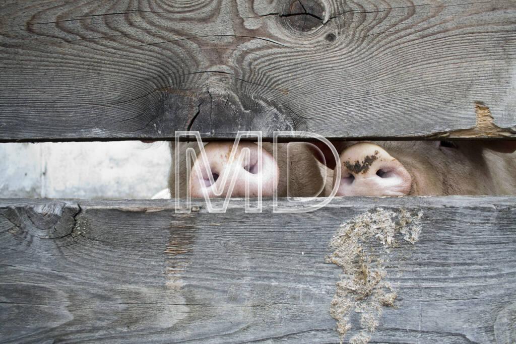 Schweine, © (C) Martina Draper (20.03.2013)