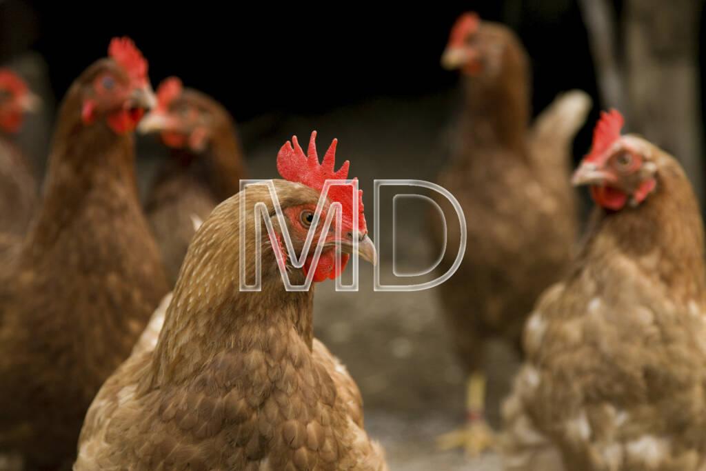 Hühner, © (C) Martina Draper (20.03.2013)