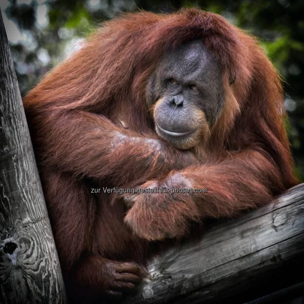 Orang-Utan (symbolisch für Tierarten, die akut vom Aussterben bedroht sind) : GiveGreenly - Ein Klick für den Naturschutz : Die Naturschutz-App GiveGreenly setzt auf Crowdfunding und startet ihre Kampagne Montag 15.2. auf www.startnext.com/givegreenly : Fotocredit: pexels.com, © Aussender (15.02.2016)