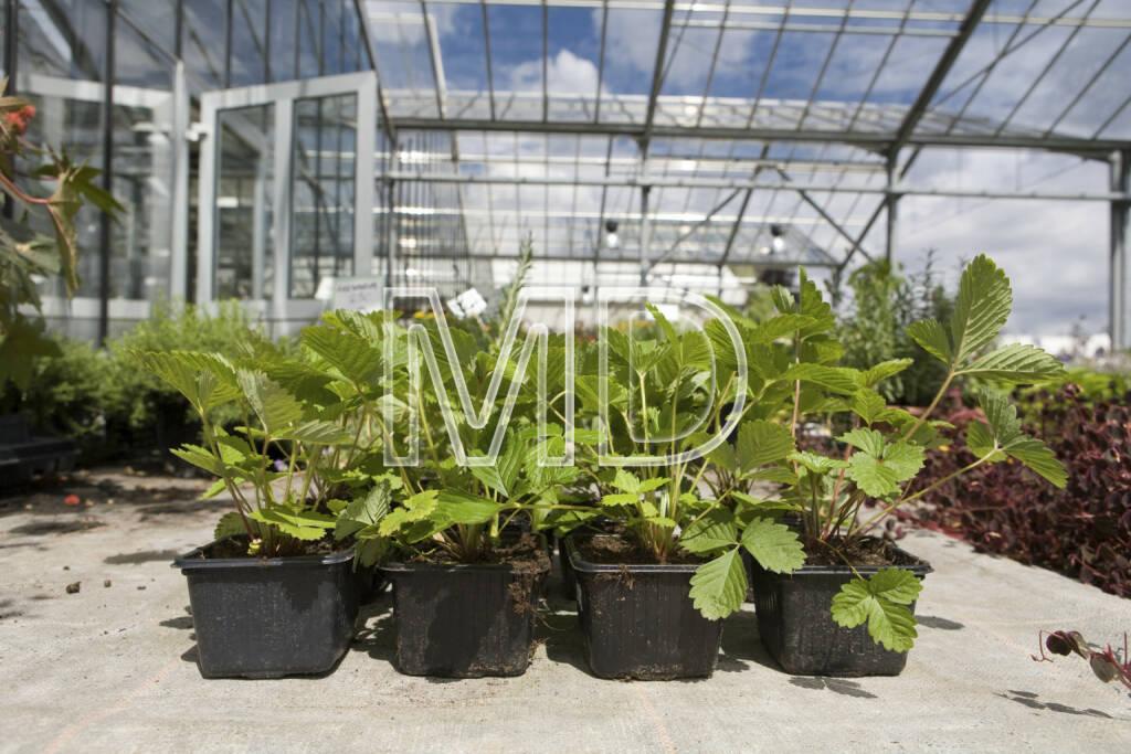 Erdbeerpflanzen, © Martina Draper (06.04.2013)