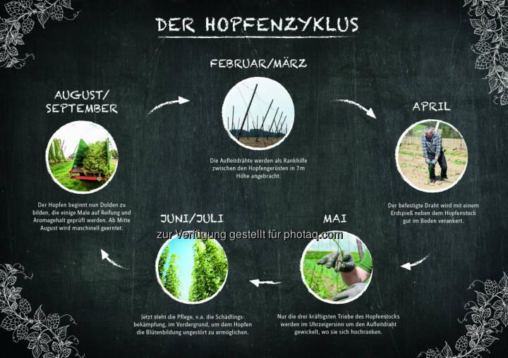 Grafik Der Hopfenzyklus : Die Hopfenpflanze im Jahresverlauf : Österreich ist ein Hopfenland : Fotocredit: Brau Union Österreich