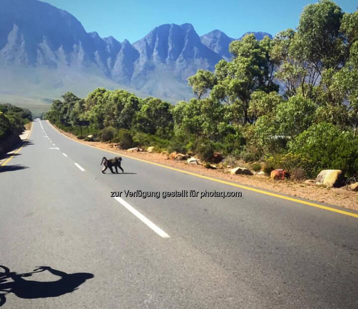 Affe, überqueren, quer