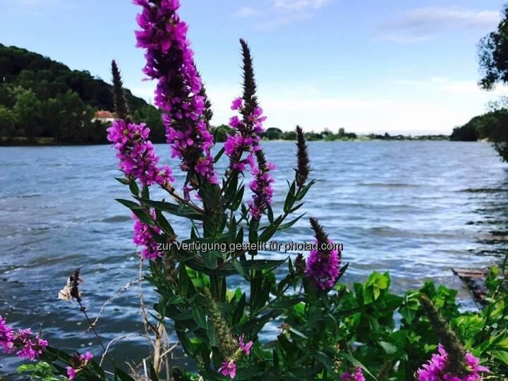 Donaualtarm, Blume