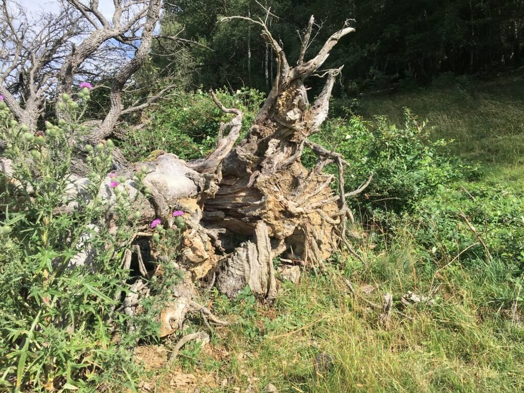 Wurzel, Baum, entwurzelt, © diverse photaq (25.08.2017)