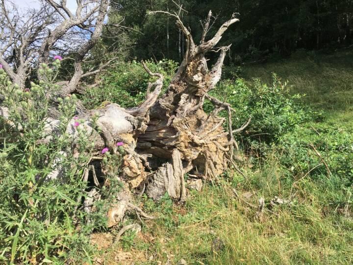 Wurzel, Baum, entwurzelt