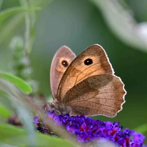 Blühendes Österreich – REWE International gemeinnützige Privatstiftung: Über 12.000 Schmetterlinge gezählt; Fotocredit: Blühendes Österreich – REWE International gem. Privatstiftung, © Aussendung (13.09.2017)