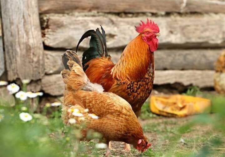 """Lidl Österreich setzt auf ein Sortiment mit Zukunft. Alle frischen Eier stammen ausschließlich aus Bio-, Freiland- oder Bodenhaltung aus Österreich – zu 100 Prozent AMA-zertifiziert. Seit Kurzem haben wir unser nachhaltiges Sortiment um die gentechnikfreien """"gut gekeimt""""-Eier aus tierschutzgeprüfter Bodenhaltung erweitert. Zusätzlich verzichten wir seit Jahren im gesamten Eigenmarken-Sortiment auf Eier aus Käfighaltung in verarbeiteten Produkten. Für eine bessere Qualität der Eier und zum Wohl der Hühner. Fotorechte: © Lidl Österreich"""