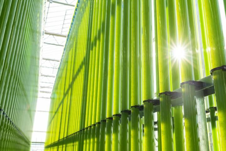 Einen zukunftweisenden Schritt setzte heute die eparella GmbH, eine Tochter der ecoduna AG, bei der Mikroalgenproduktion im industriellen Maßstab. Nach erfolgreichen Jahren der Forschung und Entwicklung ist nun, nach 11 Monaten Bauzeit, auf einer Fläche von über 10.000m2 eines der weltweit größten Mikroalgen-Wachstumssysteme entstanden. Insgesamt soll nach dem Vollausbau - im Jahr 2021 - eine Kapazität von bis zu 300t Biomasse generiert werden; in der derzeitigen Ausbaustufe sind es jährlich 100t trockene Algenbiomasse. Die Baukosten betrugen 18 Mio. Euro. Bild: ecoduna