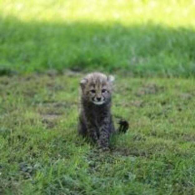 """Am 25. Mai 2018 erblickte Geparden-Nachwuchs – 3 Jungs und ein Mädchen – das Licht der Welt im Salzburger Zoo. Palfinger übernimmt die Patenschaft für eines dieser Geparden-Babies. Seit Ende Juli ist Palfinger nun Pate von dem kleinen Geparden-Mädchen des Wurfs. Eine interne, Österreichweite Mitarbeiterumfrage half bei ihrer Namensfindung: sie hört nun auf den Namen Niara. Dieser hat die Bedeutung, dass die Kleine für """"etwas Großes bestimmt"""" ist. Mit unserer Patenschaft unterstützen wir den Zoo nicht nur z.B. bei der Versorgung mit Futter, sondern finanzieren auch die Errichtung eines Futterlifts, so Sprecher Hannes Roither in einem Company-Blog. Bildquelle: palfinger.ag, © Aussender (28.08.2018)"""