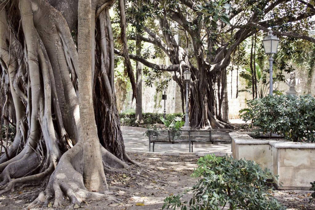 Gummibäume, Palermo, Sizilien, © Gabriele Hartweger (05.07.2013)