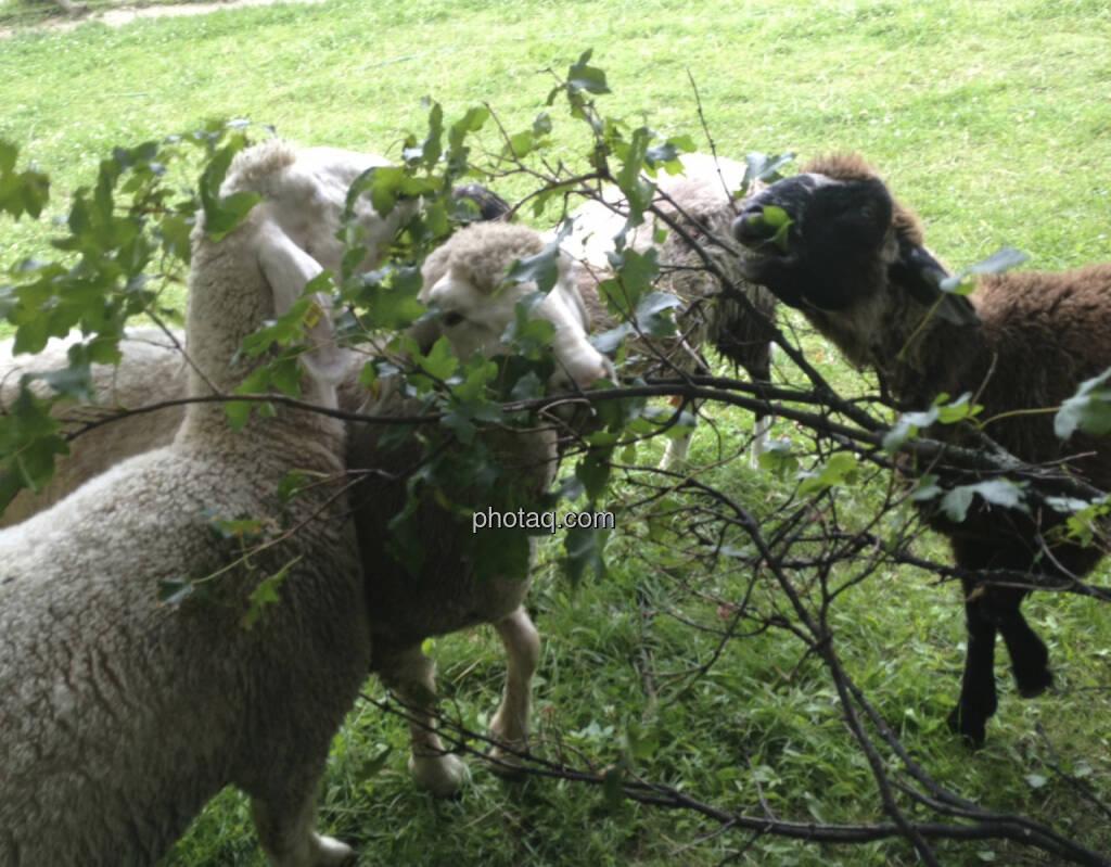 Schafe, Herde (08.07.2013)