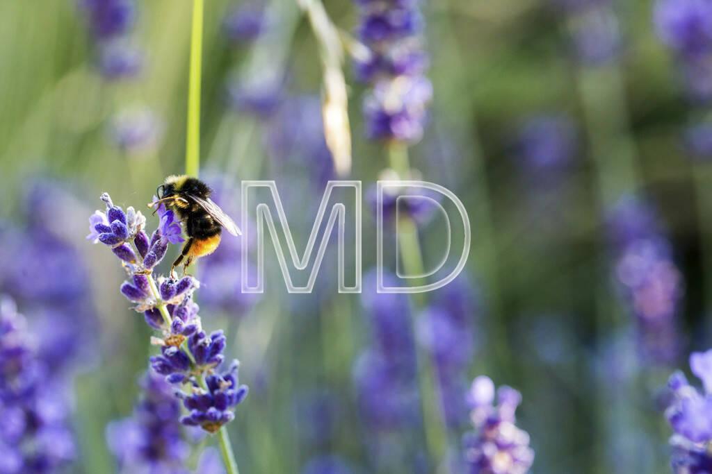 Lavendel mit Hummel, © www.martina-draper.at (08.07.2013)