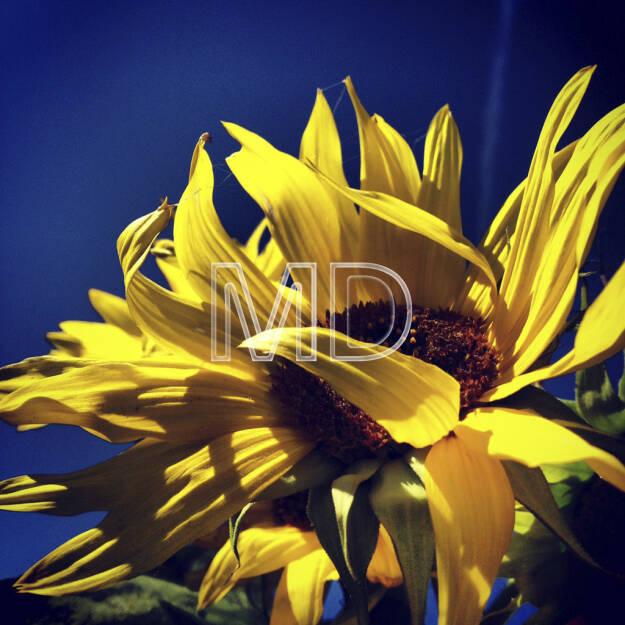 Sonnenblume, © www.martina-draper.at (08.07.2013)