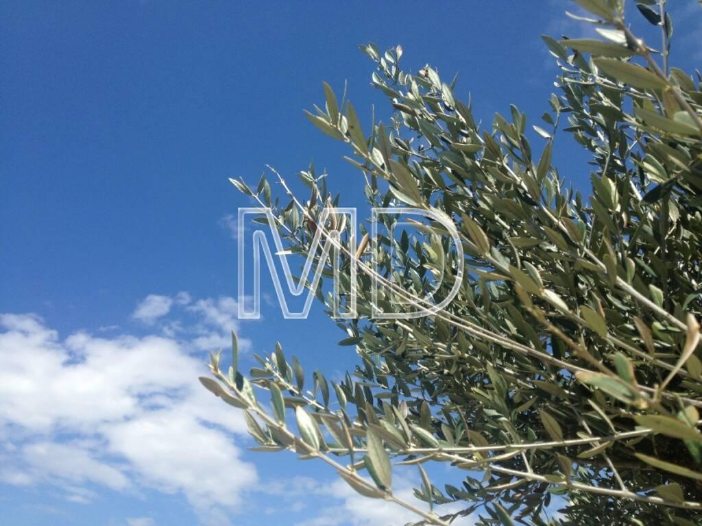 Olivenbaumblätter, © www.martina-draper.at (31.07.2013)