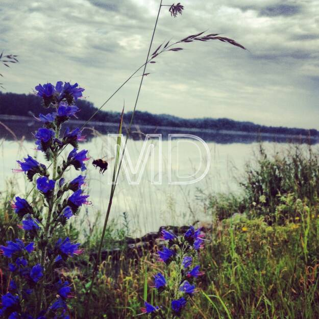 Donau, Blumen, Hummel, © www.martina-draper.at (31.07.2013)