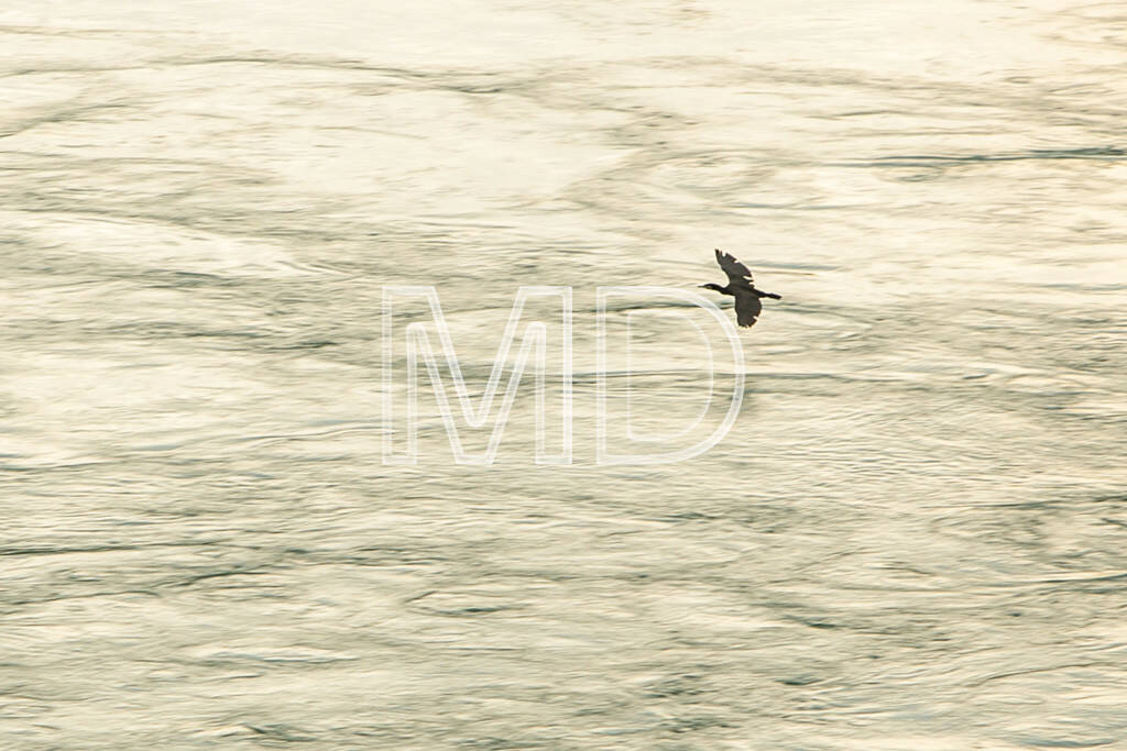 Kormoran, fliegend, © www.martina-draper.at (09.08.2013)