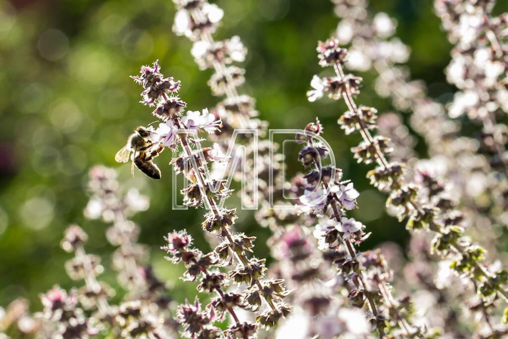 blühender Salbei mit Biene, © www.martina-draper.at (11.08.2013)