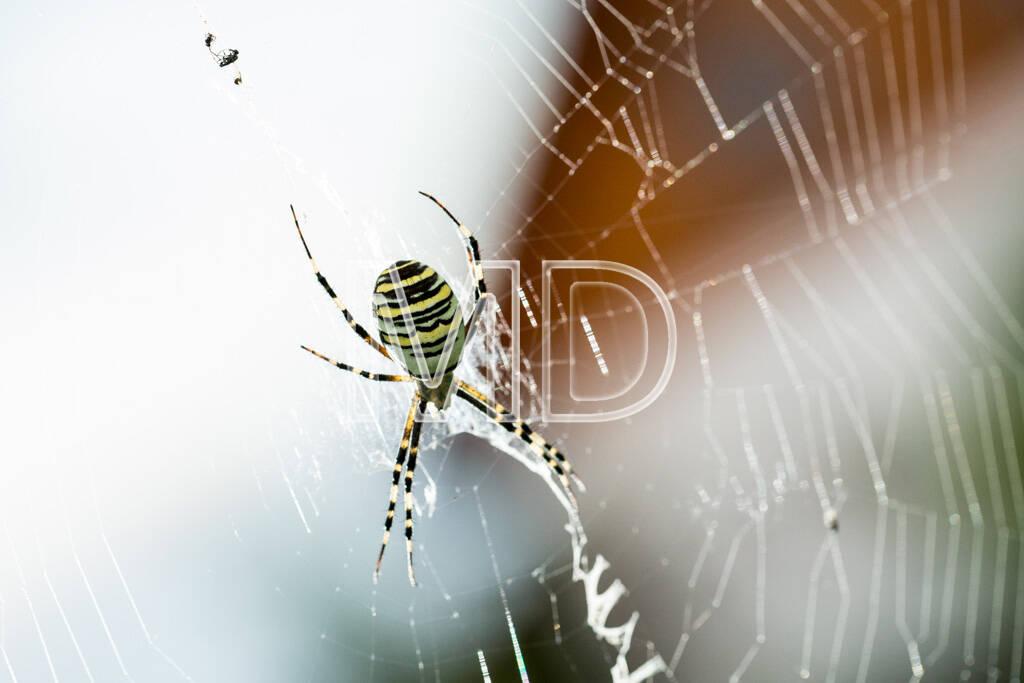 Wespenspinne, © www.martina-draper.at (14.08.2013)