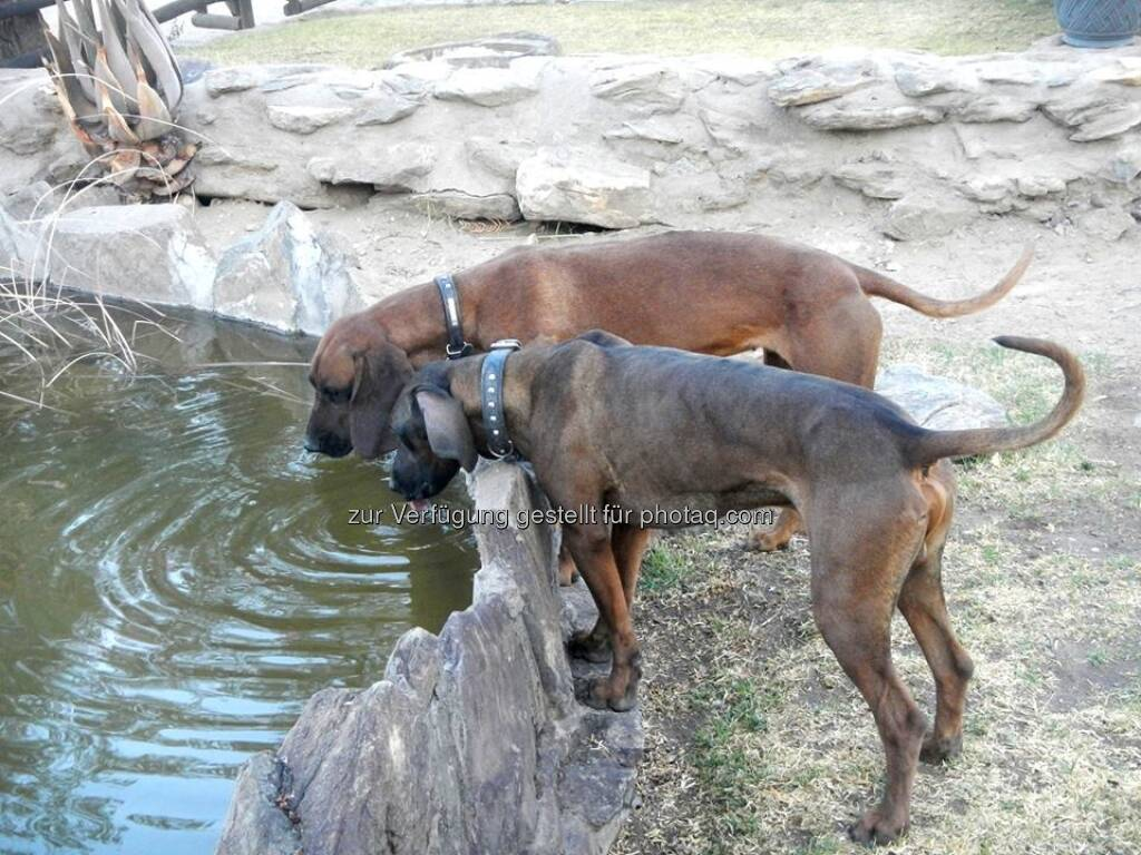 Namibia, Hunde, Trinken, © Judith Schreiber (24.08.2013)