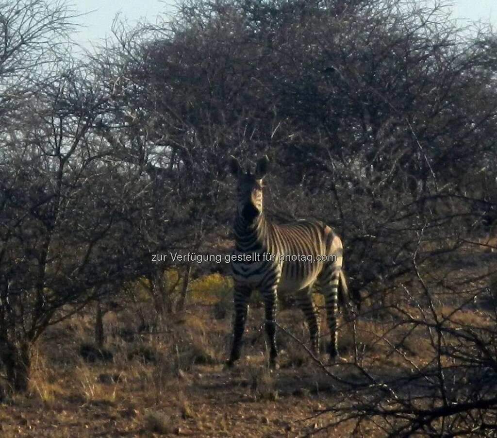 Namibia, Zebra, © Judith Schreiber (24.08.2013)