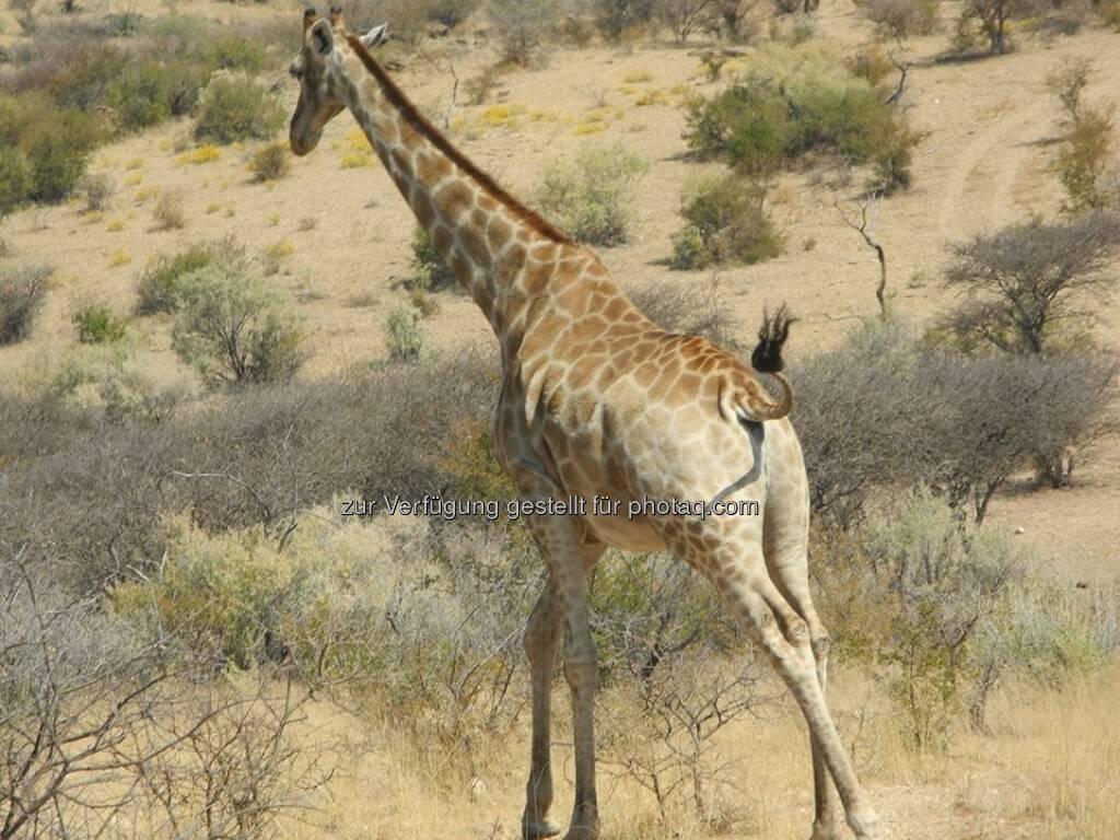 Namibia, Giraffe, © Judith Schreiber (24.08.2013)